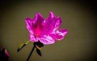 杜鵑花圖片_12張