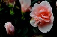 粉色杜鵑花圖片_12張