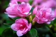 漂亮的紫色杜鵑花圖片_10張