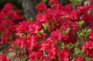 盛開的紅色杜鵑花圖片_11張