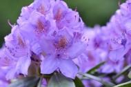 紫色杜鵑花高清圖片_14張
