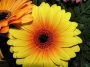 多種顏色的非洲菊圖片_13張