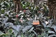 粉菠萝植物图片_1张