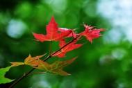 秋天蕭瑟的楓葉圖片_14張