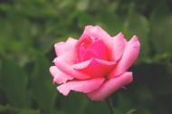 粉紅的玫瑰花圖片_14張