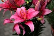 粉色的百合花图片_15张