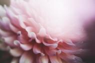 粉色的花瓣圖片_10張