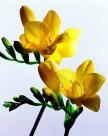 高清黄色花朵图片_6张