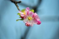 粉色海棠花圖片_7張
