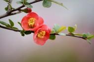 紅色海棠花圖片_11張