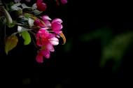 海棠花圖片_11張