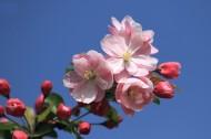 春天的海棠花圖片_16張