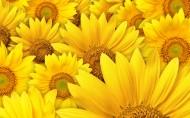 金黃色的向日葵圖片_17張