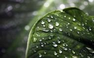 翠綠的荷葉和水珠圖片_13張