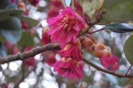 红花荷植物图片_12张