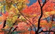 紅楓葉圖片_21張