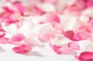 粉紅花瓣圖片_12張