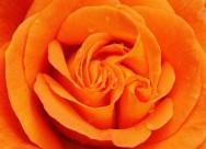 明亮的黃玫瑰圖片_15張