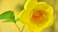 黃玫瑰圖片_18張