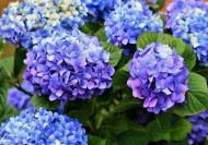 藍色繡球花圖片_16張