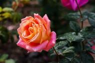 嬌艷的玫瑰花圖片_16張