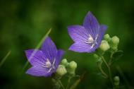 紫色桔梗花圖片 _9張