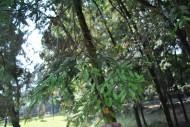 雞毛松植物圖片_2張