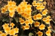 聚石斛植物图片_3张
