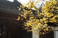 黄色和粉色腊梅花图片_10张