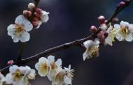 清新腊梅花卉图片_9张