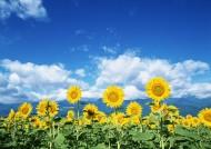 蓝天白云下的向日葵图片_12张