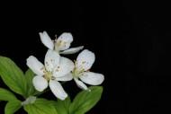 潔白如雪的梨花圖片_6張
