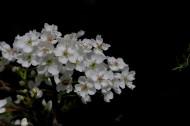 梨花圖片_12張
