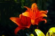 各種顏色的百合花圖片_12張