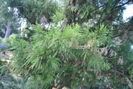陸均松植物圖片_2張