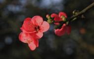 紅色海棠花圖片_6張