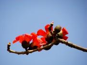 孤单的木棉花卉图片_10张