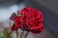 鮮艷的紅玫瑰圖片_17張