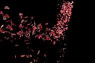 玫瑰花瓣圖片_7張