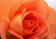 玫瑰花卉圖片_20張