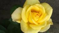 美麗的黃玫瑰圖片_10張