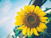 美丽的向日葵图片_15张