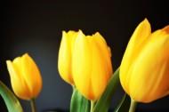 美丽的黄色郁金香图片_11张