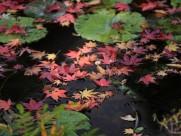 美麗楓葉圖片_17張