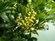 米仔兰植物图片_5张