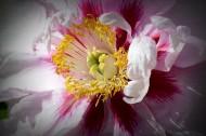 牡丹花圖片_8張