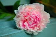 美麗的牡丹花圖片_10張