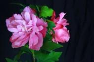 牡丹花圖片_6張