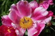 各種顏色的牡丹花圖片_15張