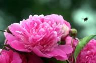 顏色艷麗的牡丹花圖片_15張